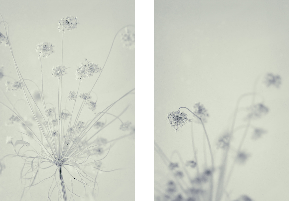 Queen Anne's Lace i & ii