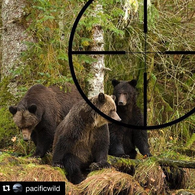 "#Repost @pacificwild with @repostapp. ・・・ TODAY is your last chance to keep B.C. bears and wolves out of government cross hairs. (Link in bio.) We need you to tell the B.C. government (today) that you oppose plans to triple the grizzly hunt and remove all limits to the wolf hunt in the Peace Region. It takes 5 minutes to set-up an account and briefly state ""I oppose this proposal."" in response to the two *separate* proposals.  Want to go into more detail? We have text to help. Everything you need is at pacificwild.org/bears. (Link in bio works too.) Save the petitions and phone calls for tomorrow - we have just over 12 hours to get as many comments on the record through the government portal as possible.  Please spread the word. #bantrophyhunting  Photo by @IanTMcAllister for @PacificWild. // #conservation #animalcruelty #animalwelfare #trophyhunting #grizzlybears #grizzlybear #savebcwolves #wolves"