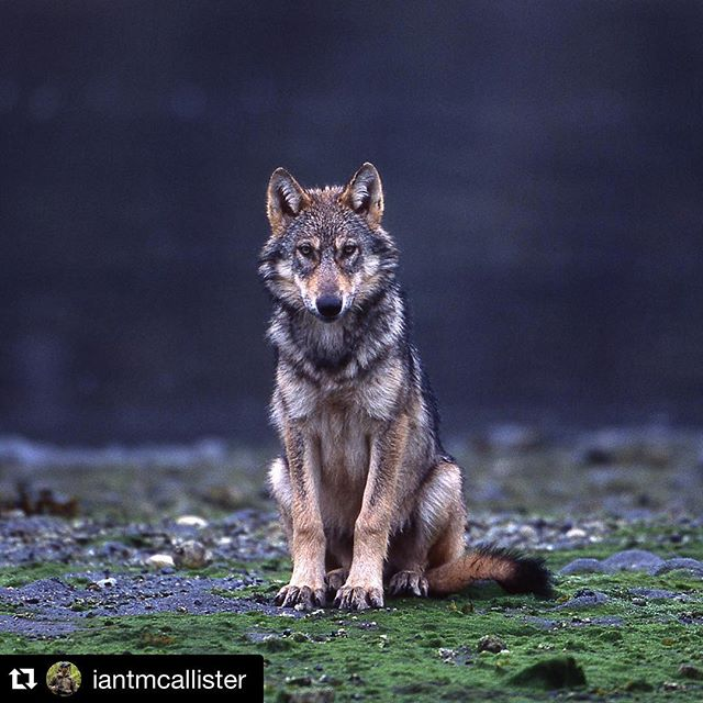 It is very important to make our voices heard about the things we care about. I care about this. If you do too please make your voice heard. #Repost @iantmcallister with @repostapp. ・・・ I named this young wolf Ernest and I have to say that after spending so many years with various packs this one wolf has proven to be one of the most fascinating and quirky that I have ever known.  Each time I arrived at the packs rendezvous site without hesitation he would leave his siblings and promptly place himself in front of me and simply start staring in the most earnest fashion.  His weapon of choice was not the 1000psi jaw pressure wolves posses but an intense and unrelenting stare that left me wishing he would get on with his day and let me quietly observe his family from a  distance.  Such is the random and often unpredictable personality traits of wolves.  Today is a critical day for countless other wolves in British Columbia.  As you know the war on wildlife is getting more serious as the BC government works to triple the amount of grizzly bears killed in the interior of BC while throwing out any provisions that once protected wolves.  The staff @pacificwild have been working through the holidays to ensure that as many voices are heard in opposition to this plan and TODAY is the last day for public comment.  If this plan goes ahead wolves in dens can be killed, pups and pregnant females can be killed - and there will be no mandatory reporting or inspection - this plan will allow for open season unregulated killing of one of our planets most evolved species.  If you have not sent in your comments yet please do.  Visit the Pacific Wild website www.pacificwild/wolves to find out how you can register and make a submission.  Making your voice heard for our threatened wildlife is the perfect way to begin the New Year.  With thanks. #savebcwolves