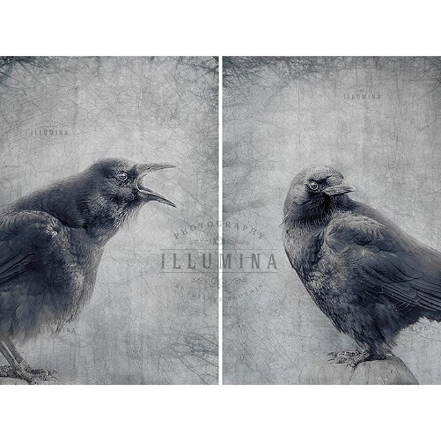 "Just added these to my Displate and Society6 shops today! ""The Call"" and ""Just Listen"", our ever present but still so lovely urban crow neighbours. Beauty in the ordinary. . . . #crowsandravens #crowart #crowprints #vancouver #vancouverartist #vancouverbirdlife"