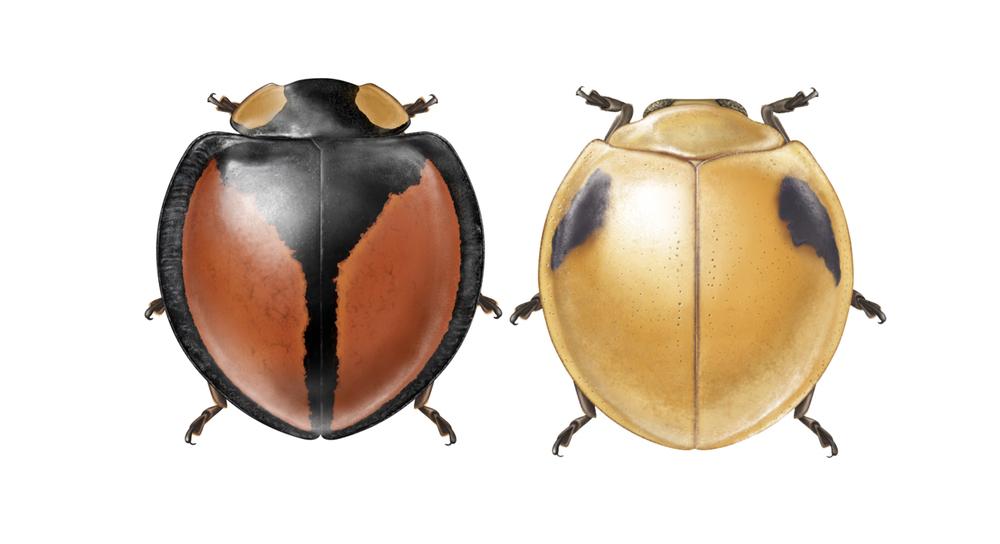 Neda and Phaenochilus renipunctatus