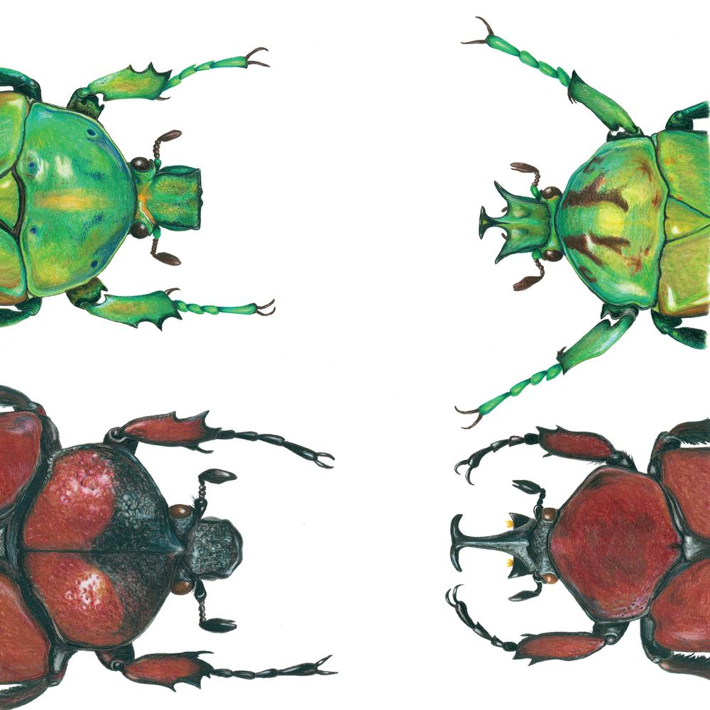 Green Jewel Beetle and Brown Beetle