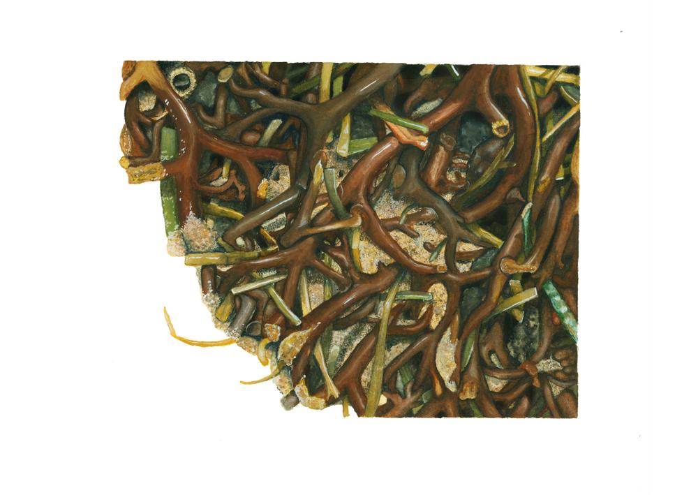 Kelp Holdfast