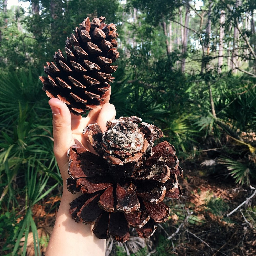 pond pine cones