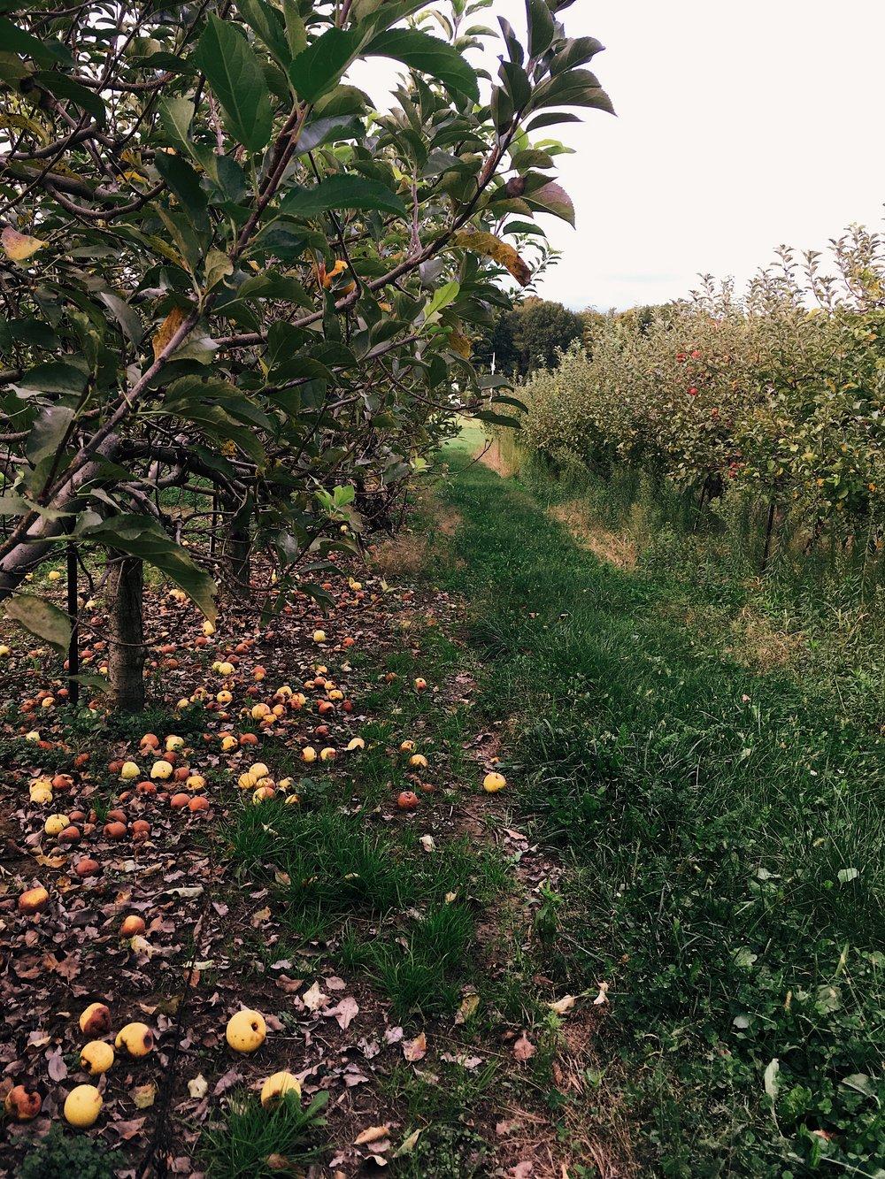 Apple Orchard Ohio Organic Image by Samantha Spigos