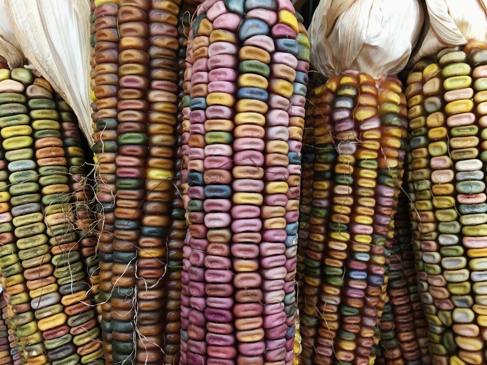 Native American Dent Corn Natural Color Image by Samantha Spigos