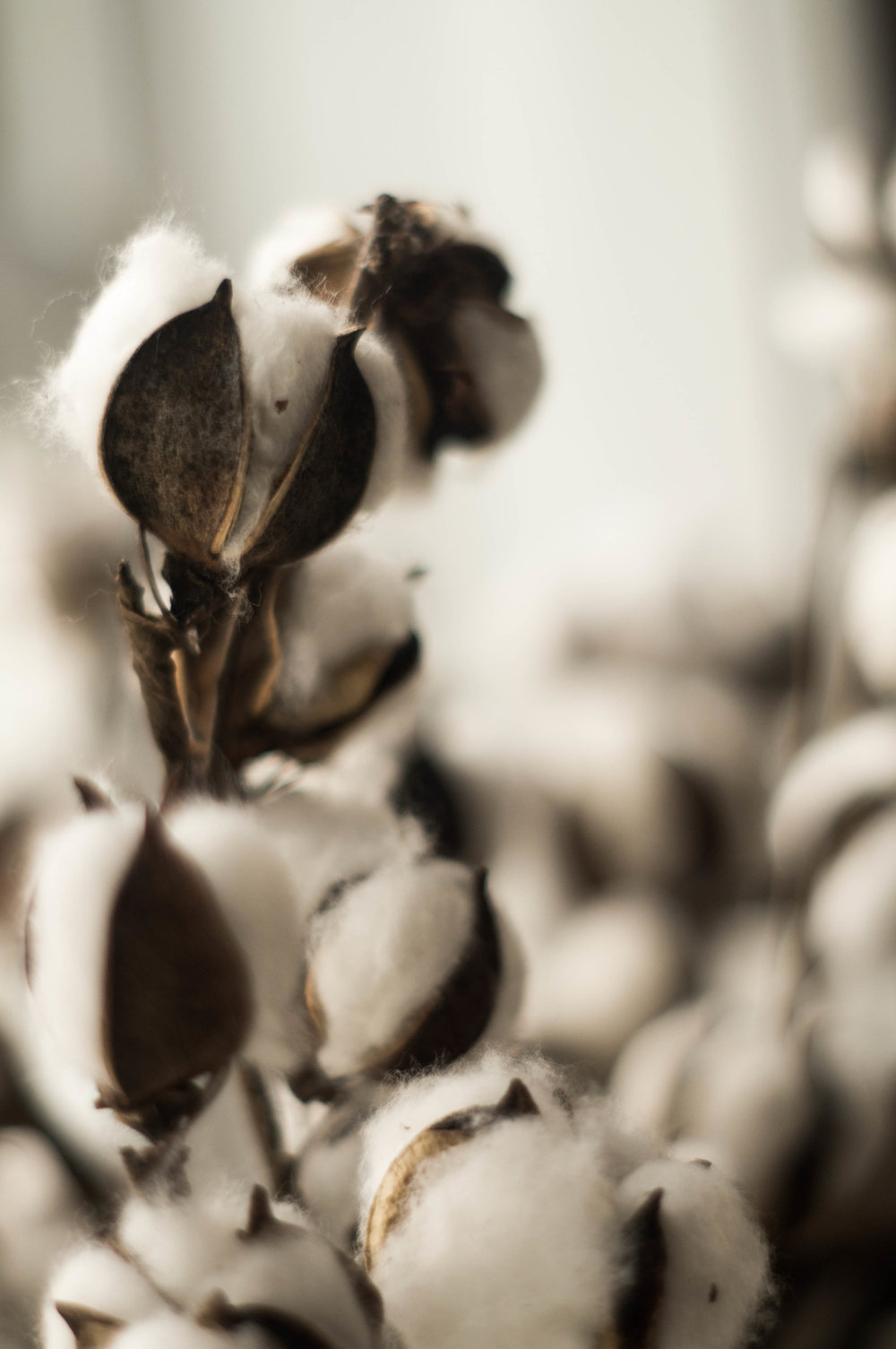 dried cotton pods image by samantha spigos