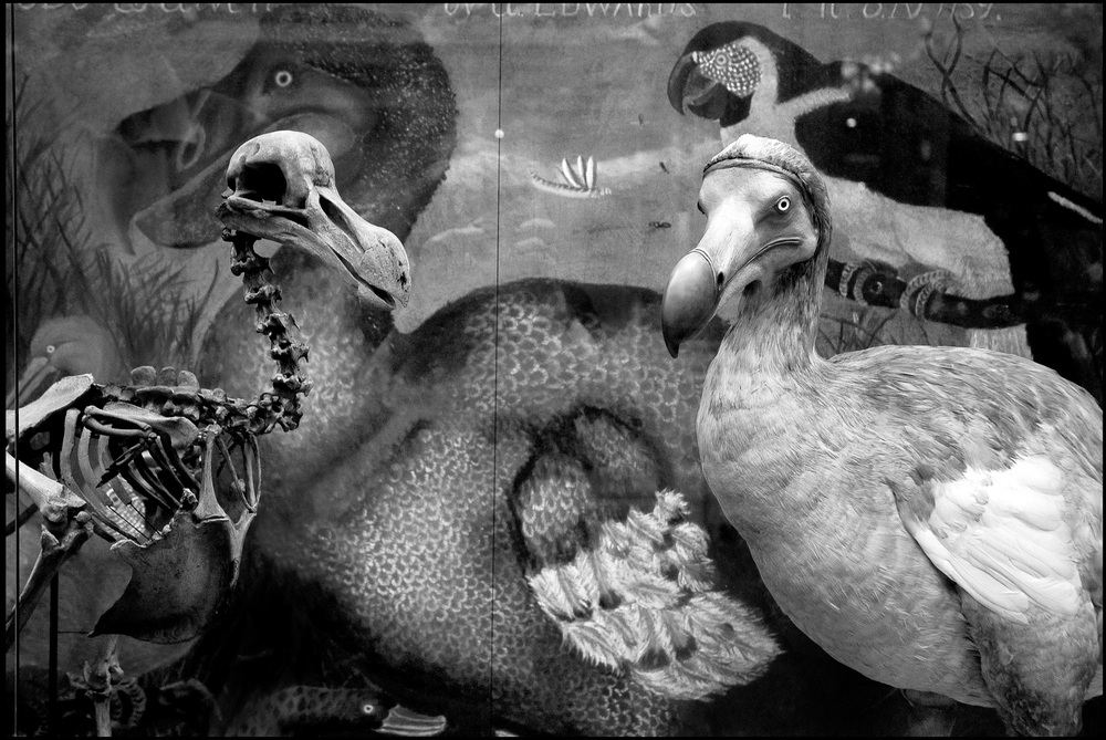 """ Dodo Bird "" Archival pigment print on watercolor paper 20"" x 30"" Jeannie O'Connor © 2011"