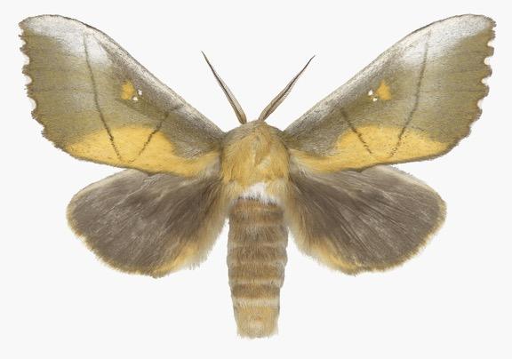 Joseph Scheer  Euhampsonia splendida