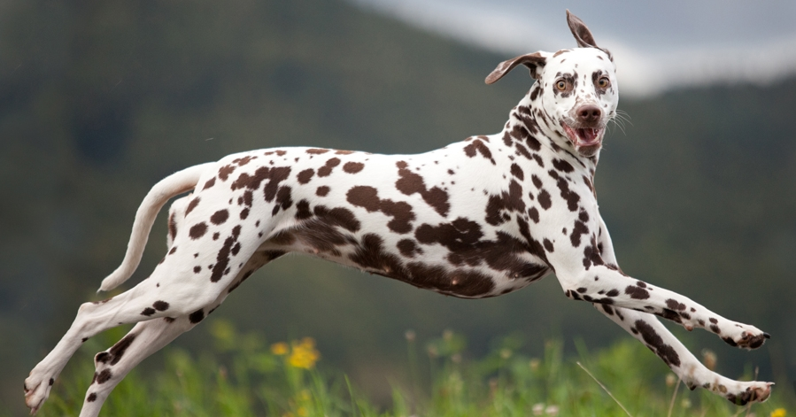 Behold the Dalmatian in all its magnificent idiocy. Photo from  https://valentina-86.deviantart.com/art/crazy-255658657