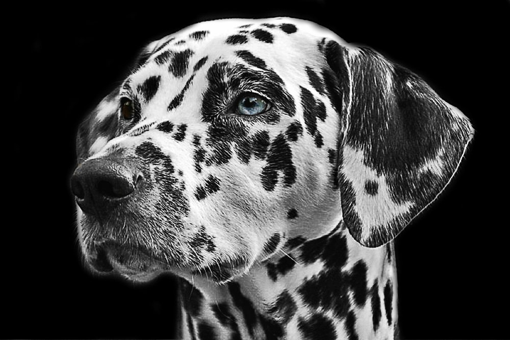 animal-dalmatian-dog-36436.jpg