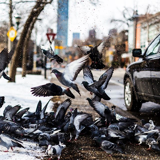 A feeding frenzy from the winter archives. Have you ever been shooting when an external force dramatically changes your shot? I was passing by these pigeons when a car suddenly stopped and start throwing seeds everywhere. Rapid fire—always be ready. Thank you kind stranger.  #yyzexposed