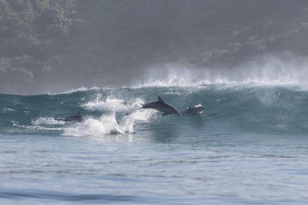 Dolphins Surfing in an East Coast Break. Credit:  Steve Benjamin .