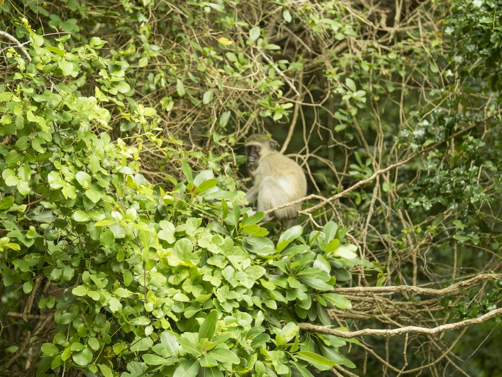 A Monkey takes shelter behind thick East Coast Foliage. Credit: George Kirkinis.