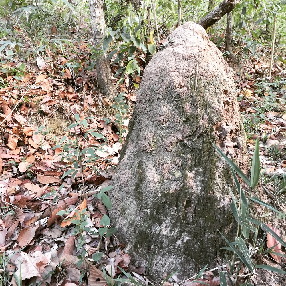 3ft tall termite mud mound on the trail. Christopher said the last time he was on this trail there was a little Buddha statue at the top that was partially covered. The Buddha is now completely covered. This is considered sacred and would never be touched or removed.