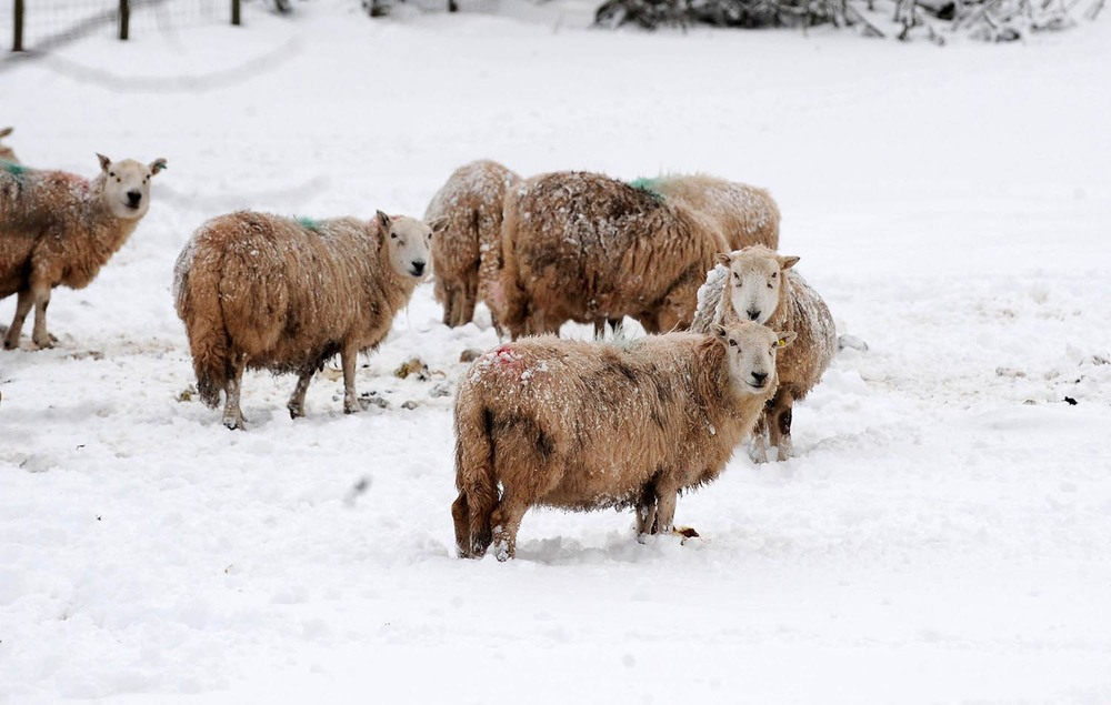 Sheep endure the snow in the Brecon Beacons