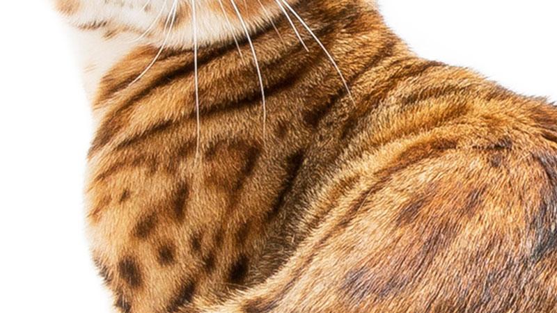bengal-glitter-kittens.jpg
