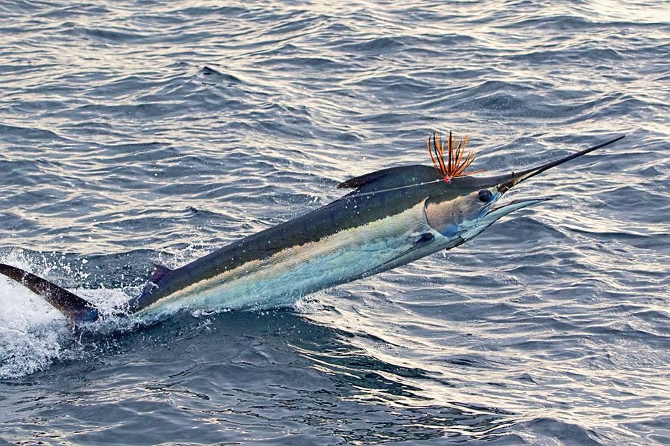 Marlin.jpg