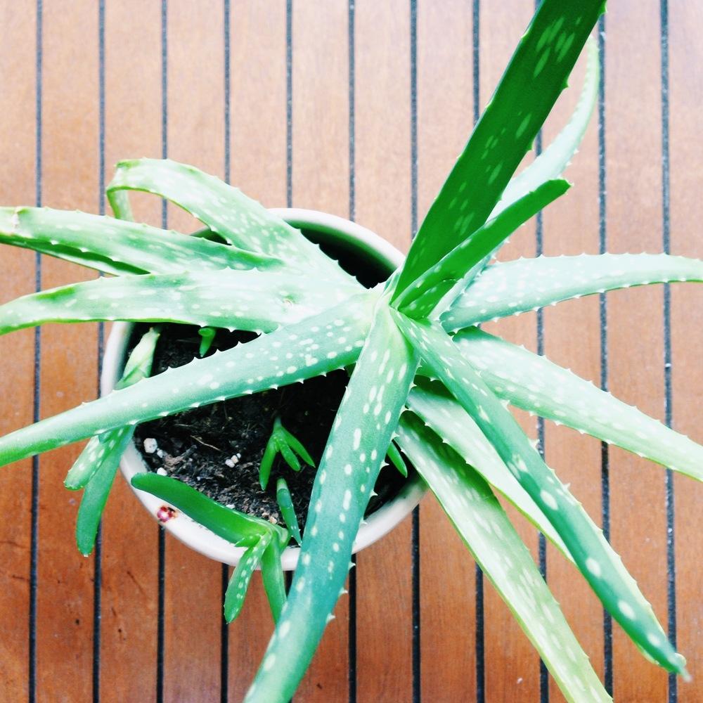 My aloe plant.