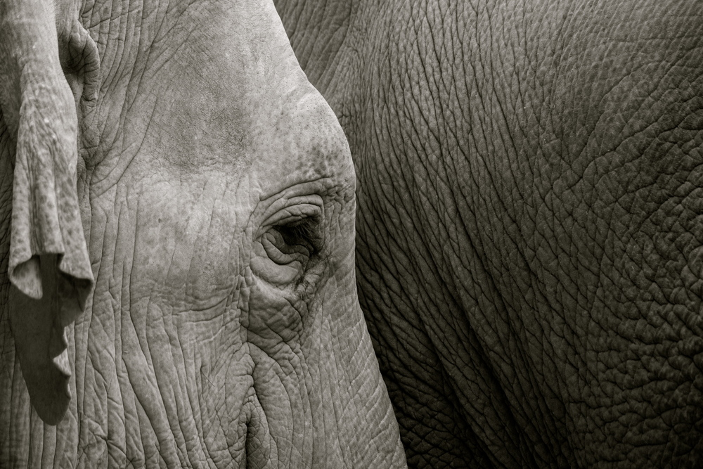 Make a Difference   Save the Asian Elephant    Join the Alliance