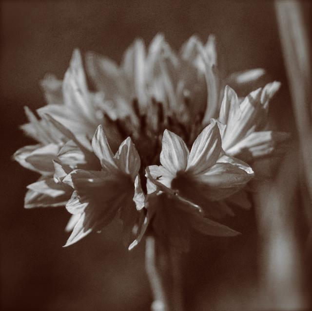 cornflower_nativskin