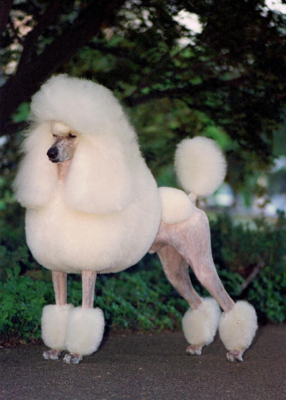 George Standard Poodle