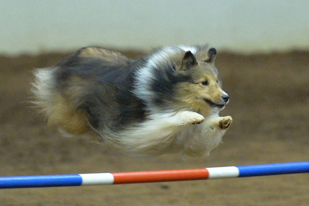 shetland sheepdog agility