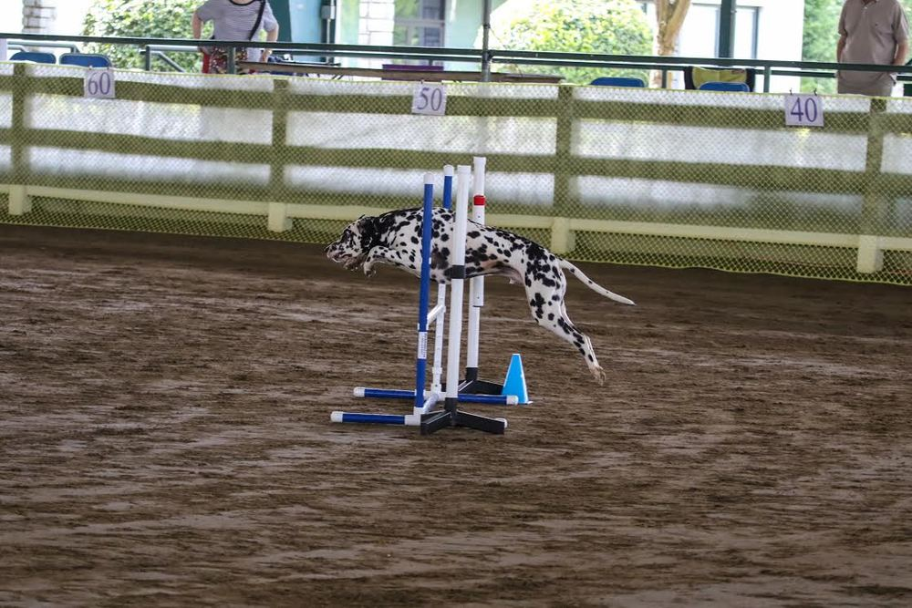 dalmation jumping hurdles