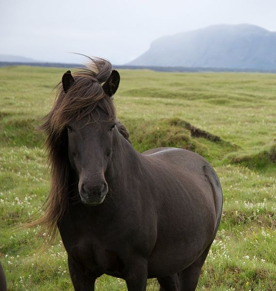 Originally posted to Flickr as Icelandic Pony Author: Thomas Quine Permission:  This image, which was originally posted to   Flickr.com  , was uploaded to Commons using    Flickr upload bot    on 22:43, 19 March 2009 (UTC) by     Kersti Nebelsiek