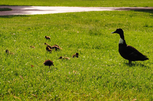 Ducklings%2B6.jpg