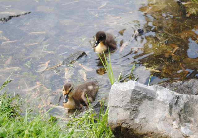 Ducklings%2B18.jpg