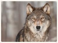 wolf copy.jpg