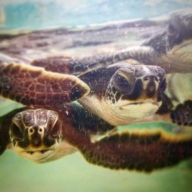 The #baby #turtles are so cute! 😀 Discovering what to find in #Florida's #Ocean was a great experience at this #Nature Center. Time to hop on the #scooter and explore more! 😎