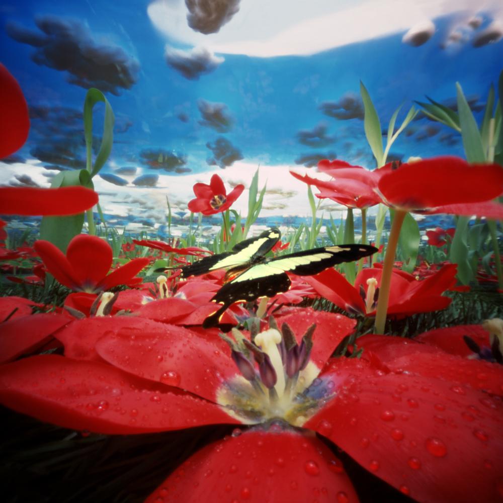 Tulpvlinder
