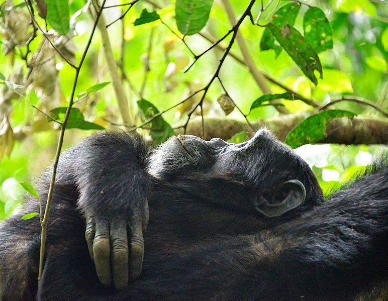 Thinking,Chimpanzee,_Uganda_(15059473018).jpg