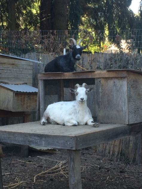 The goats, Truffle and Curdle, where taken in after their 'owners' were evicted from their small rental property where the goats lived in a small enclosure and were going to be abandoned.