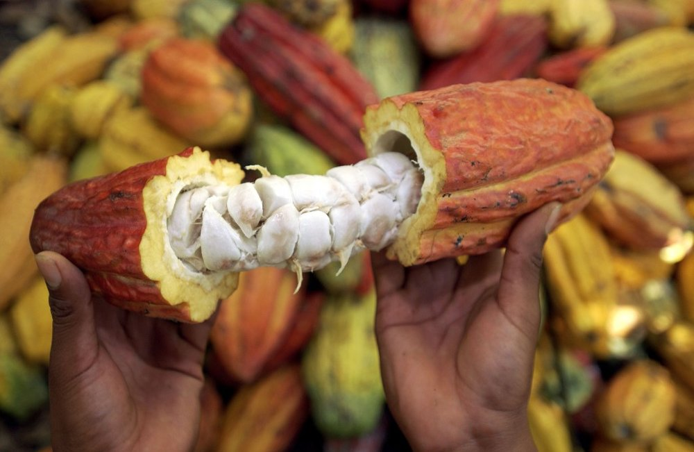 cacao_cambia_pe-1024x667.jpg