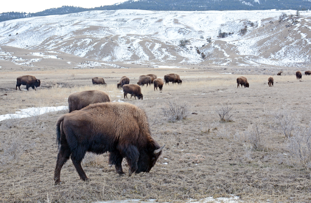Bison graze west of Gardiner, Mont., in January 2015.                                                                                                             Photo by Laura Lundquist