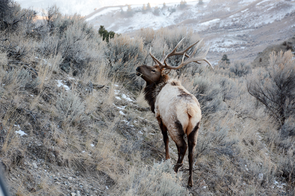 An elk browses in Yellowstone National Park in March 2015.                                                                                           Photo by Laura Lundquist