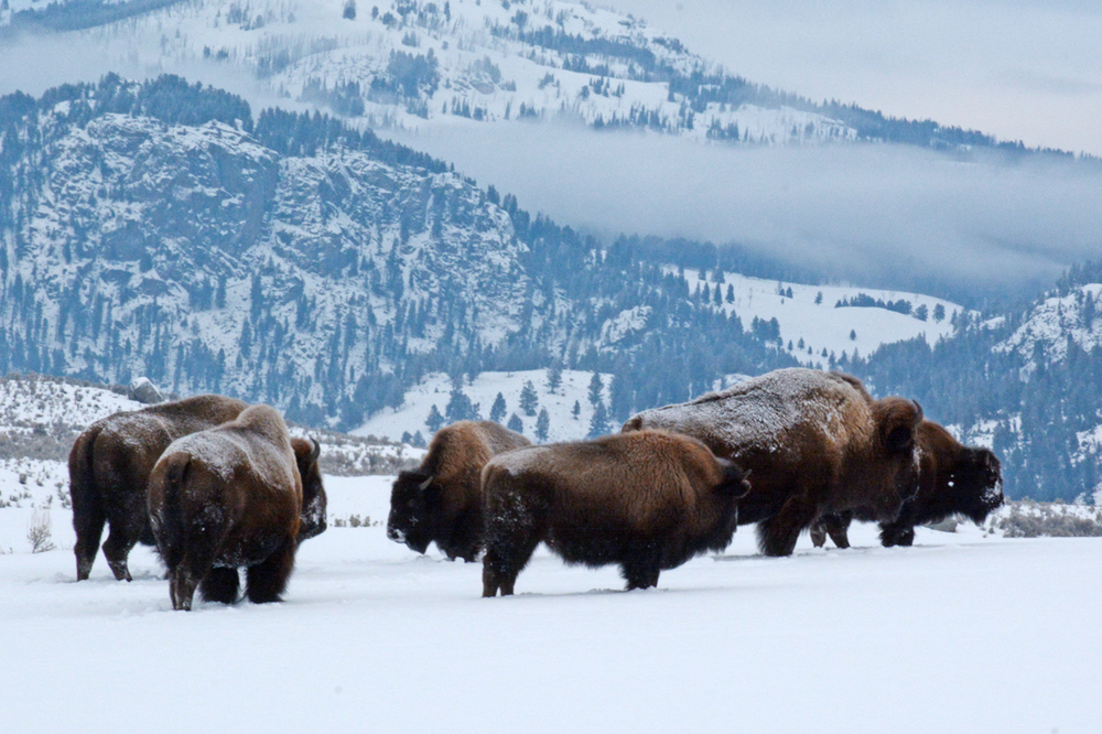 Bison endure winter in Yellowstone National Park's Lamar Valley in January 2015.                                                                                                                    Photo by Laura Lundquist