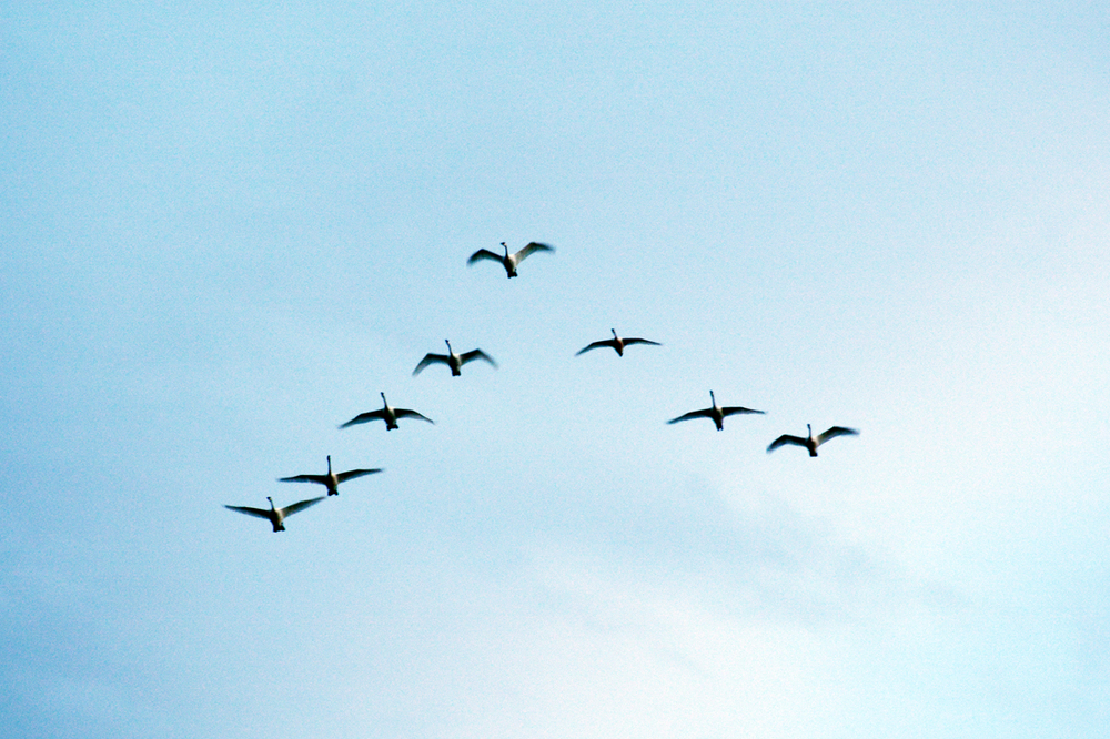 Trumpeter swans fly over Freezeout Lake in March 2015.                                                                                                                                                              Photo by Laura Lundquist