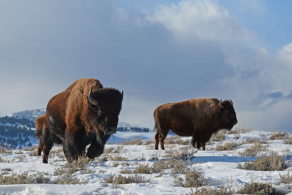 Bison wander the high plateaus of northern Yellowstone National Park in January 2015. Photo by Laura Lundquist
