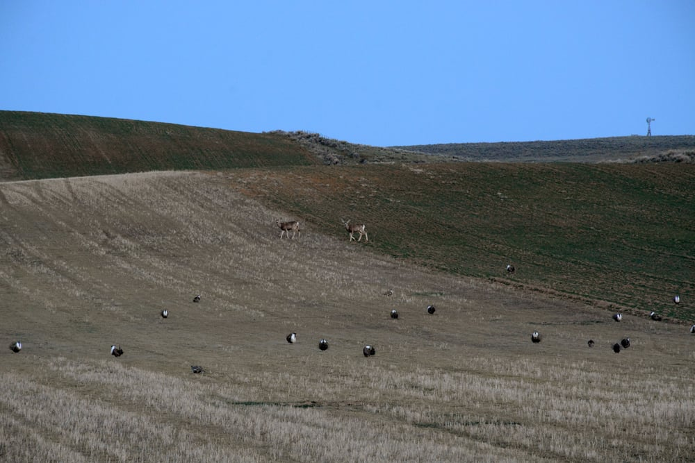 Mule deer stroll past a lek where male sage grouse were displaying to attract mates in April 2015.                                                                                               Photo by Laura Lundquist