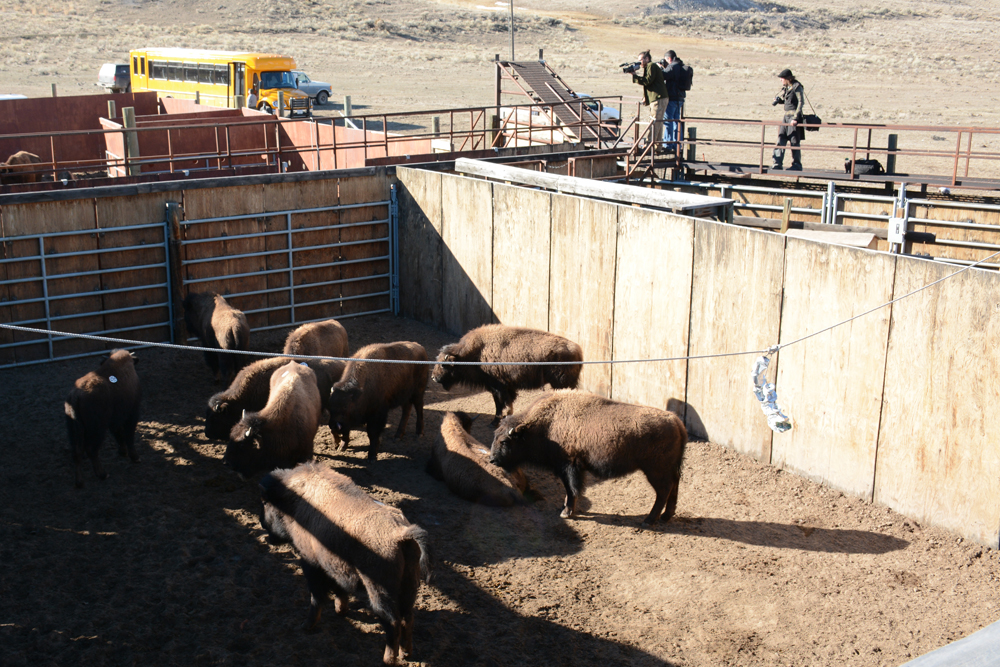 Bison await shipment to slaughter at the Stevens Creek facility in January 2015.  Photo by Laura Lundquist