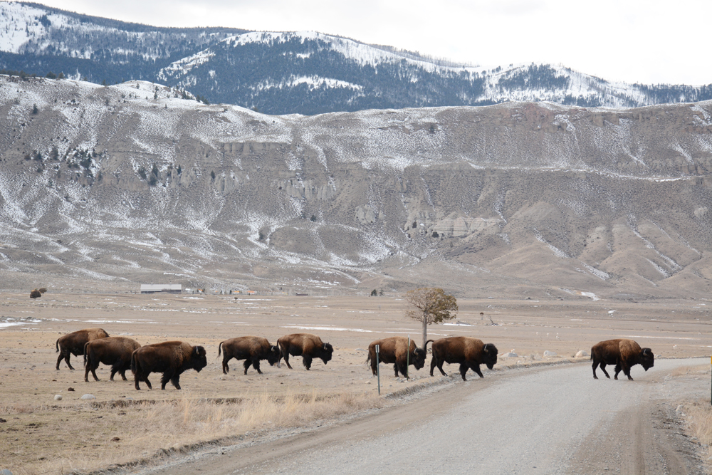 Bison cross the road near the Stevens Creek capture facility.  Photo by Laura Lundquist