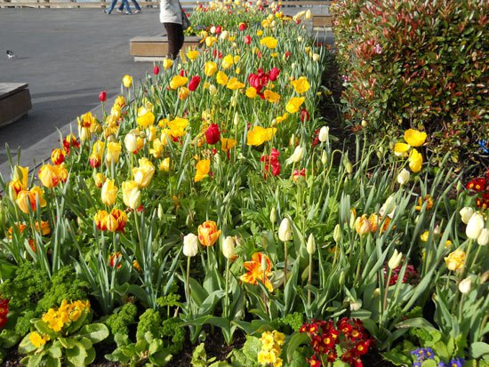 Tulips on Pier 39, March 2011