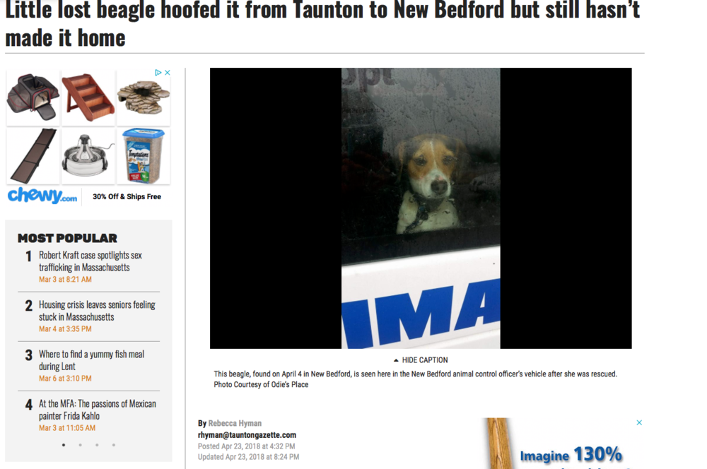 Attached here is the newspaper . Released April 23rd https://www.tauntongazette.com/news/20180423/little-lost-beagle-hoofed-it-from-taunton-to-new-bedford-but-still-hasnt-made-it-home