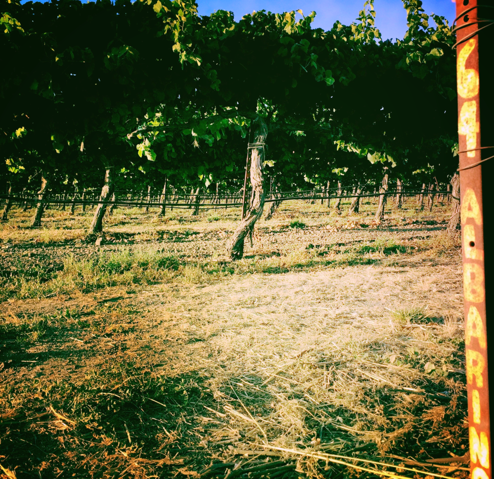 Lost Slough Vineyard