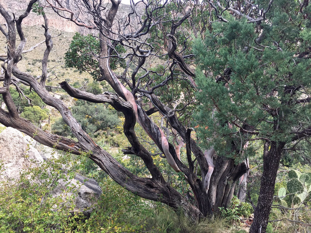 Texas madrone tree in Guadalupe Mountains National Park - the Badon Hill Blog