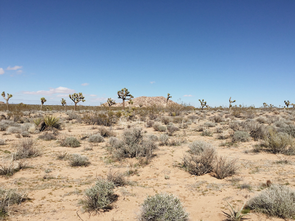 Otherwordly Joshua trees along the trail in a remote corner of Joshua Tree National Park